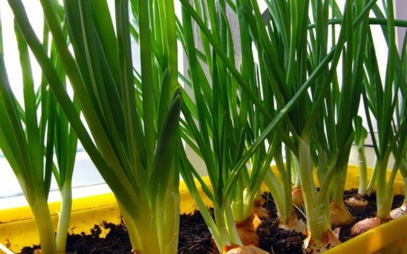 зелень можно выращивать на подоконнике